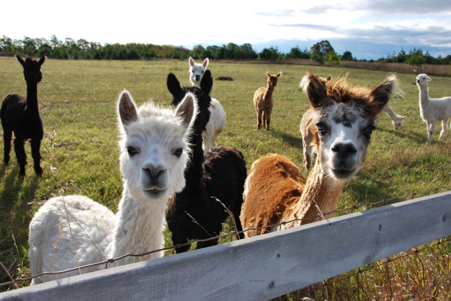 Alpaca farm near Egg Harbor